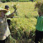 Ratusan Hektar Tanaman Padi di Magetan Gagal Panen