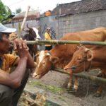 Pemkot Kediri Antisipasi Gangguan Penyakit Mata Pada Ternak Sapi