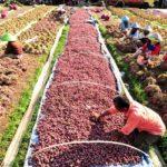 Indonesia Ekspor Ribuan Ton Bawang Merah