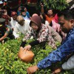 Risma Panen Urban Farming, Berharap Warga Mampu Swasembada Cabai