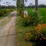 Petani Ponorogo Tanam Bunga ini untuk Cegah Hama dan Tingkatkan Hasil Panen Padi