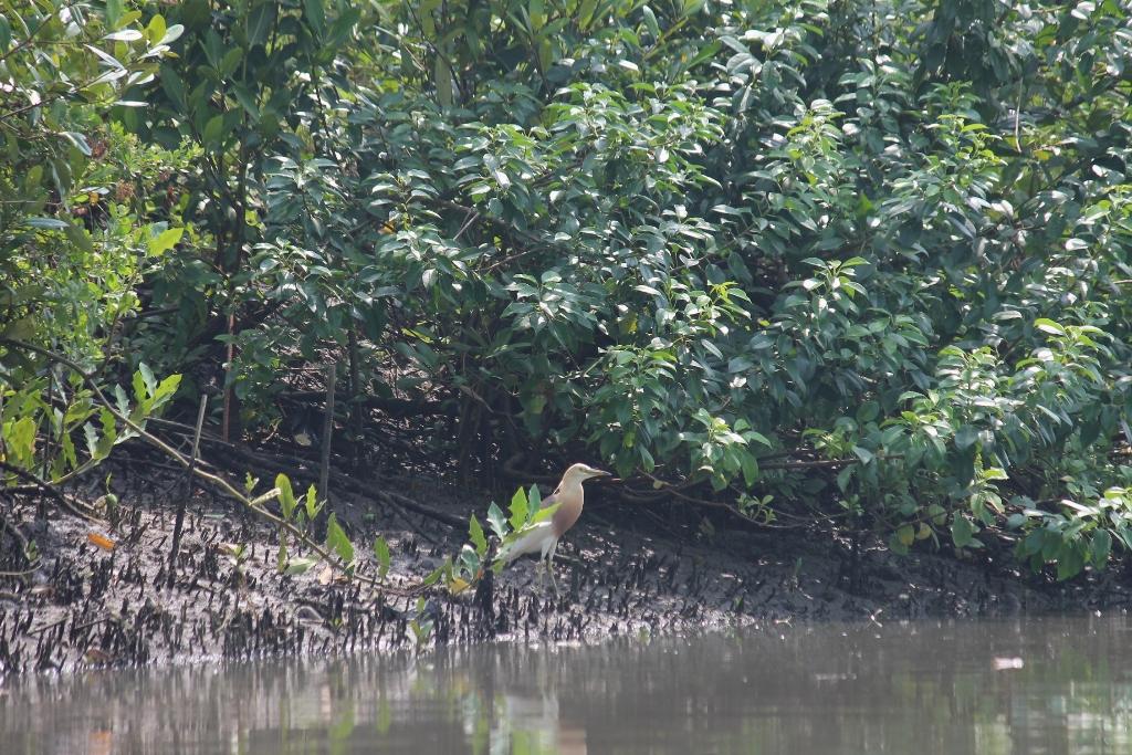 KKP Rehabilitasi Hutan Mangrove di Jatim