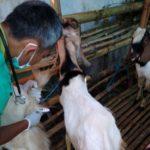 Sejumlah Hewan Kurban di Kediri Ditemukan Terserang Penyakit