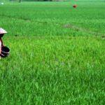 Petani Desa Blambangan Banyuwangi Kesulitan Pupuk Subsidi
