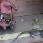 Kebun Binatang Surabaya Ketambahan 11 Bayi Komodo yang Baru Menetas