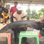 Ikan Arapaima Predator di Sungai Brantas