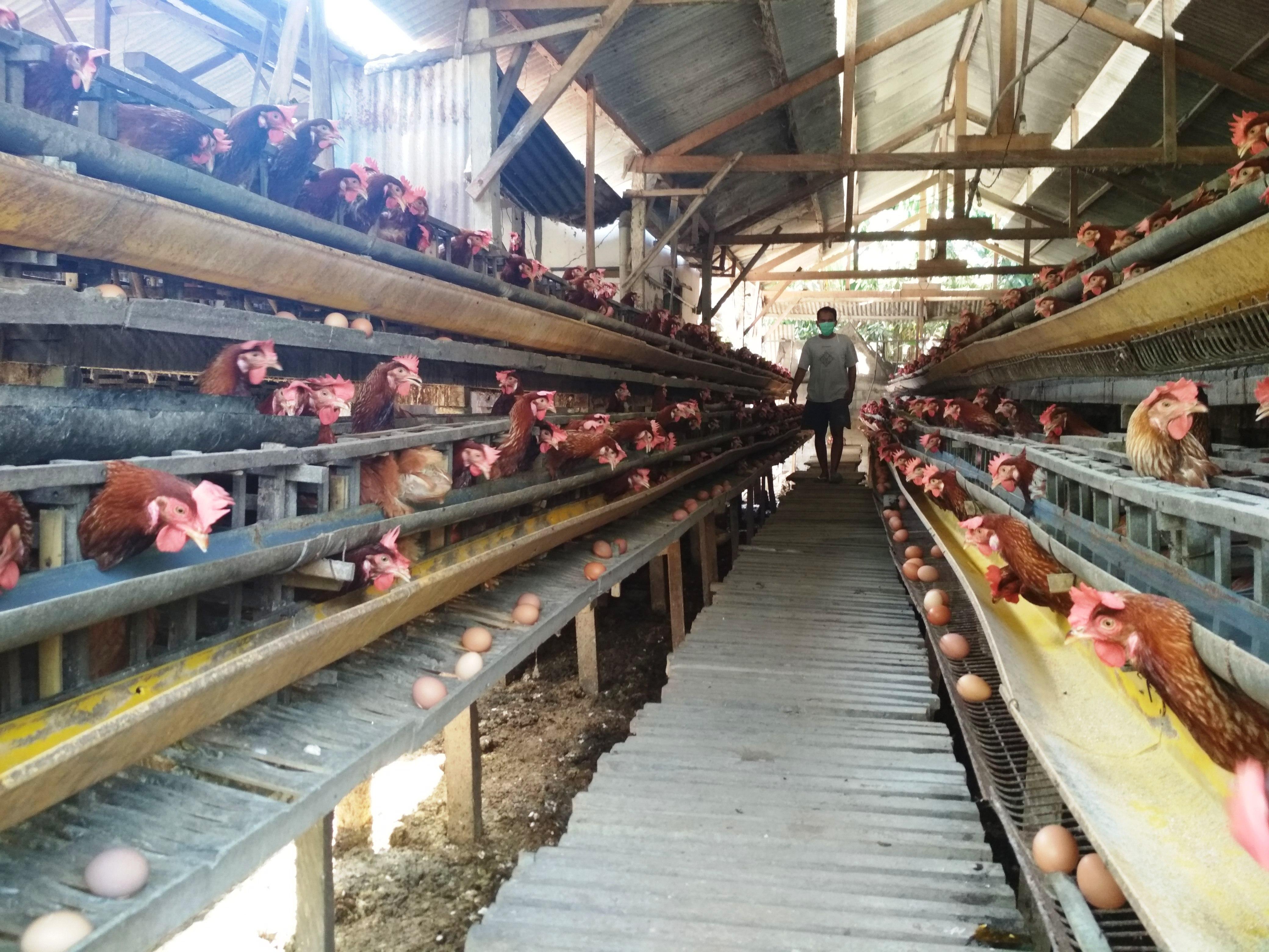 Produksi Telur Ayam Merosot, Regulasi Pemerintah Disoal