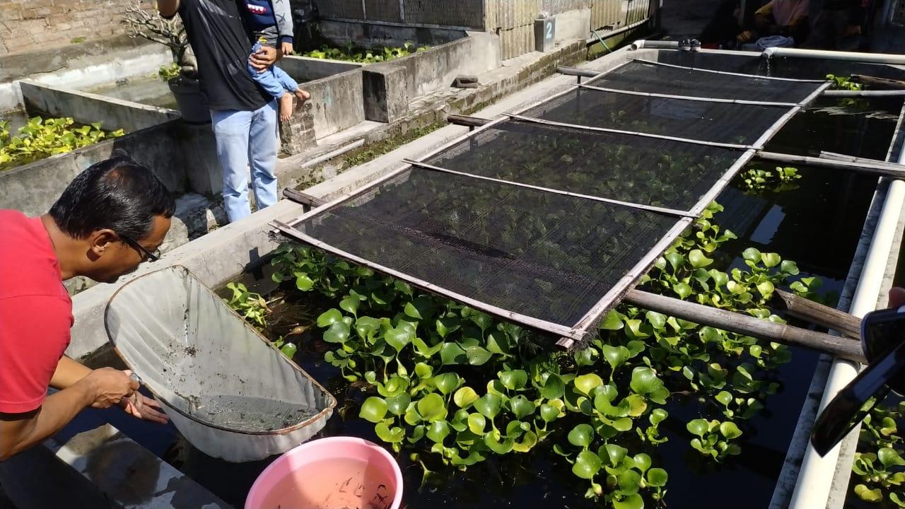 Musim Demam Berdarah, Omzet Petani Budidaya Ikan Bertambah