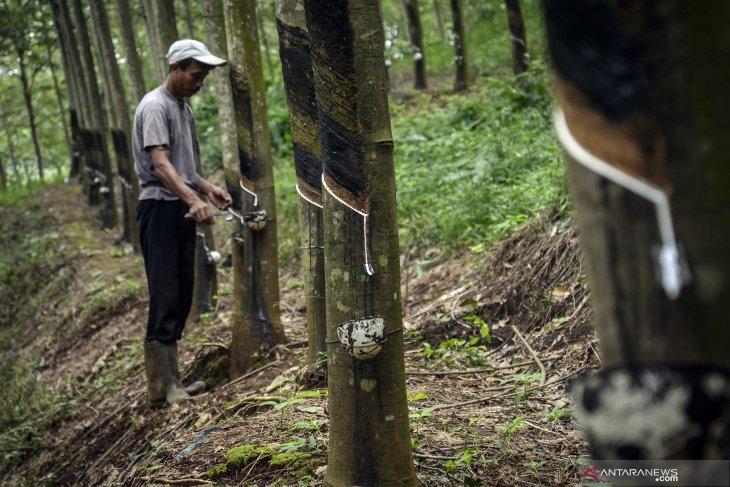Pemerintah akan Remajakan 50.000 Hektare Perkebunan Karet