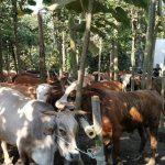 Dinas Ketahanan Pangan dan Pertanian Gelar Apel Ternak