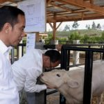 Presiden Tinjau Peternakan dan Pertanian di Desa Parsingguran