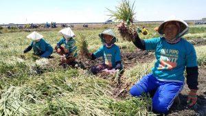 Petani Bawang Nganjuk Terapkan Sistem Tanam Demplot
