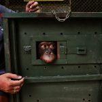 Pemulangan 2 Orangutan dari Thailand Hasil Penyelundupan