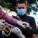Antisipasi Flu Burung, Pemkot Surabaya Lakukan Vaksinasi Unggas
