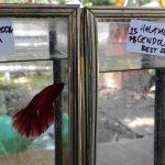 Budidaya Ikan Cupang di Desa Badal Pandean Kediri